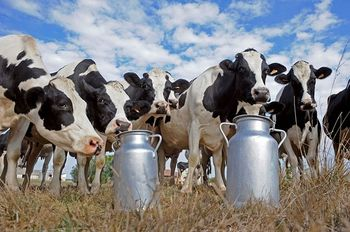 парное коровье молоко