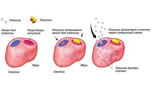 Из-за нехватки инсулина начинаются нарушения углеводного обмена