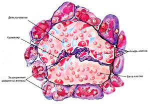 бета клетки поджелудочной железы