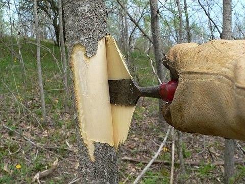 Добывание коры осины